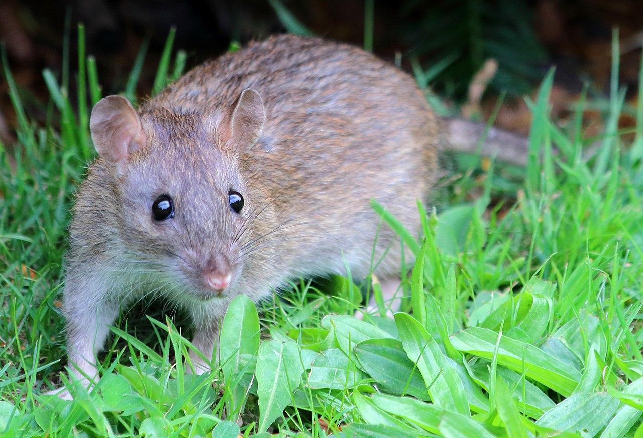 Декоративные домашние крысы: описание видов, чем кормить, как содержать