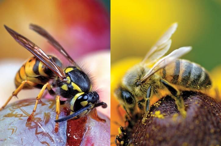 Чем отличаются оса и пчела? / как избавится от насекомых в квартире