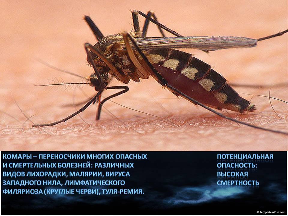 Москиты: фото и описание опасного человеческого врага. чем отличаются москиты от комаров как выглядят москиты