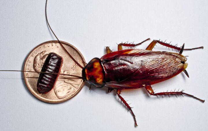 Как вывести рыжих тараканов из квартиры