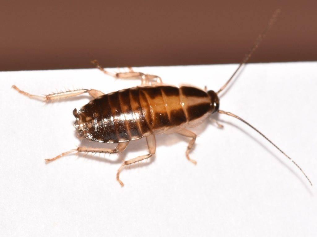Есть ли гнезда у тараканов. где живут тараканы в доме, и как найти их гнездо