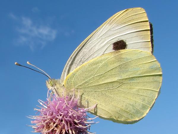 Сколько живёт бабочка-капустница: описание, питание, гусеницы и куколки