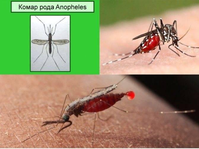 Что будет если укусит малярийный комар и что делать при его укусе? чем опасны укусы комаров — как от них избавиться