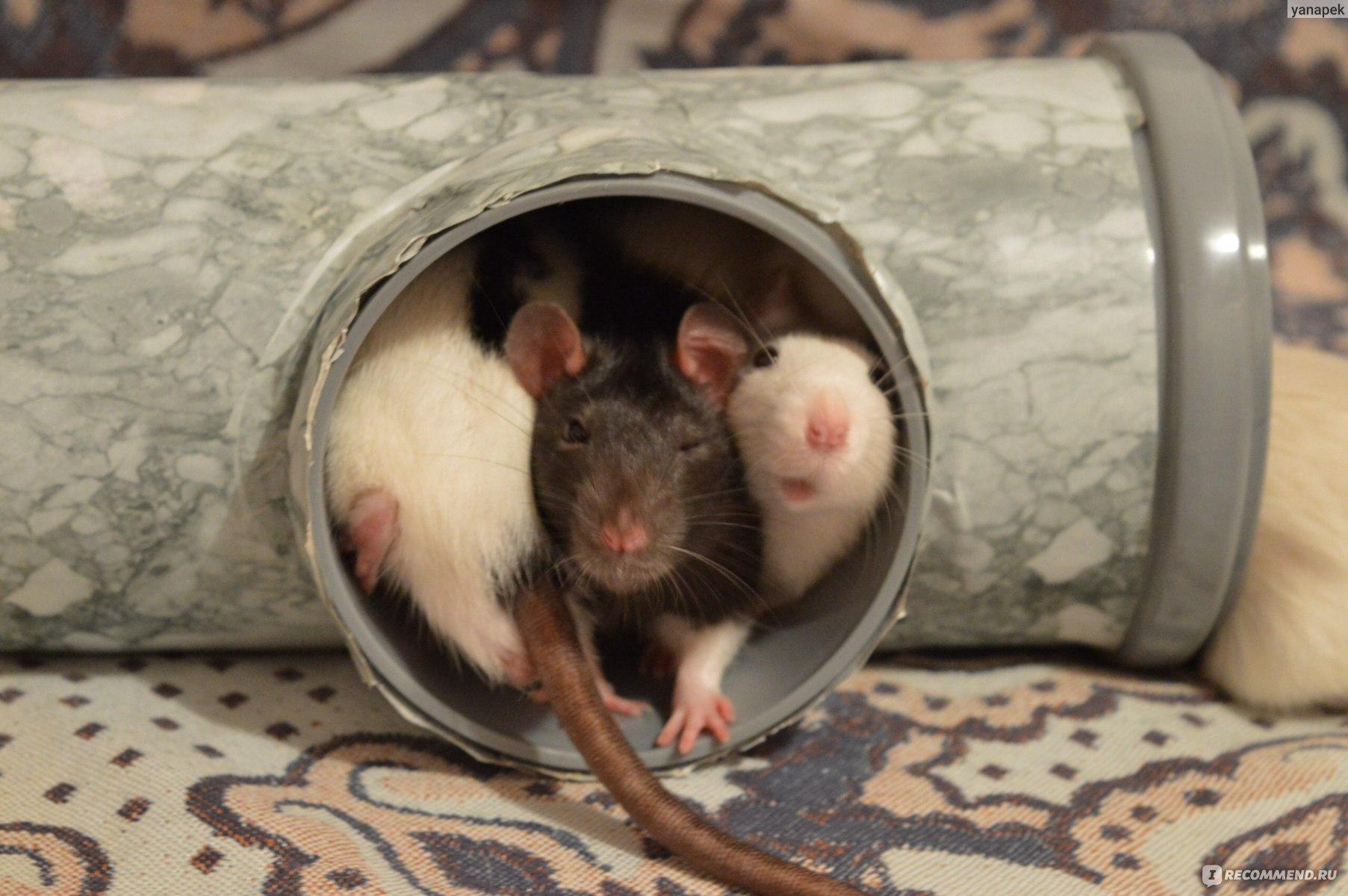 Домашняя крыса издает странные звуки, что они означают - kotiko.ru