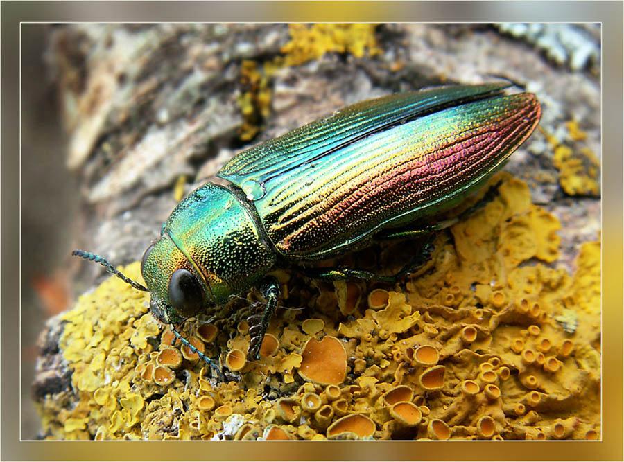 Большая сосновая златка: описание внешнего вида и образа жизни насекомого
