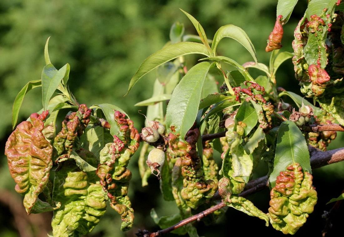 Как избавиться от тли на абрикосах. чем обработать абрикос от вредителей и болезней