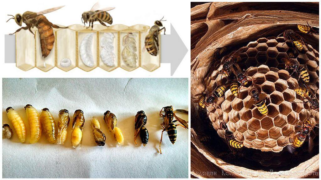 Как появляется, кто оплодотворяет и как выглядит матка пчелы, ее функции и фото