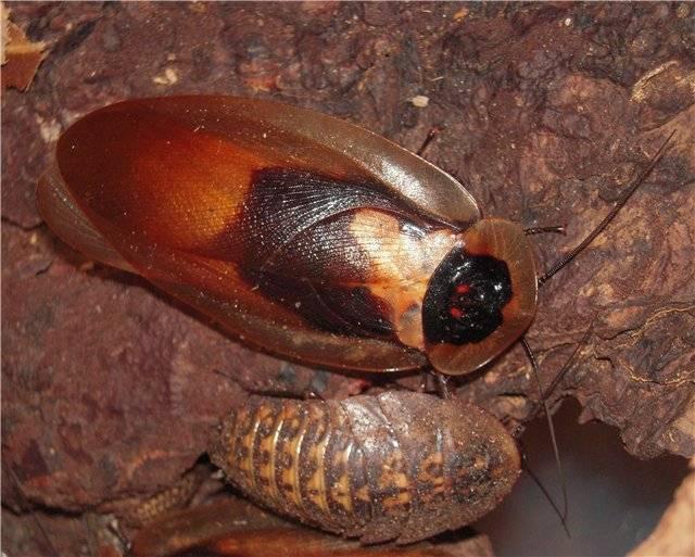 Мексиканский таракан: описание вида, среда обитания, жизненный цикл, опасность для человека, правила содержания в домашнем террариуме, видео