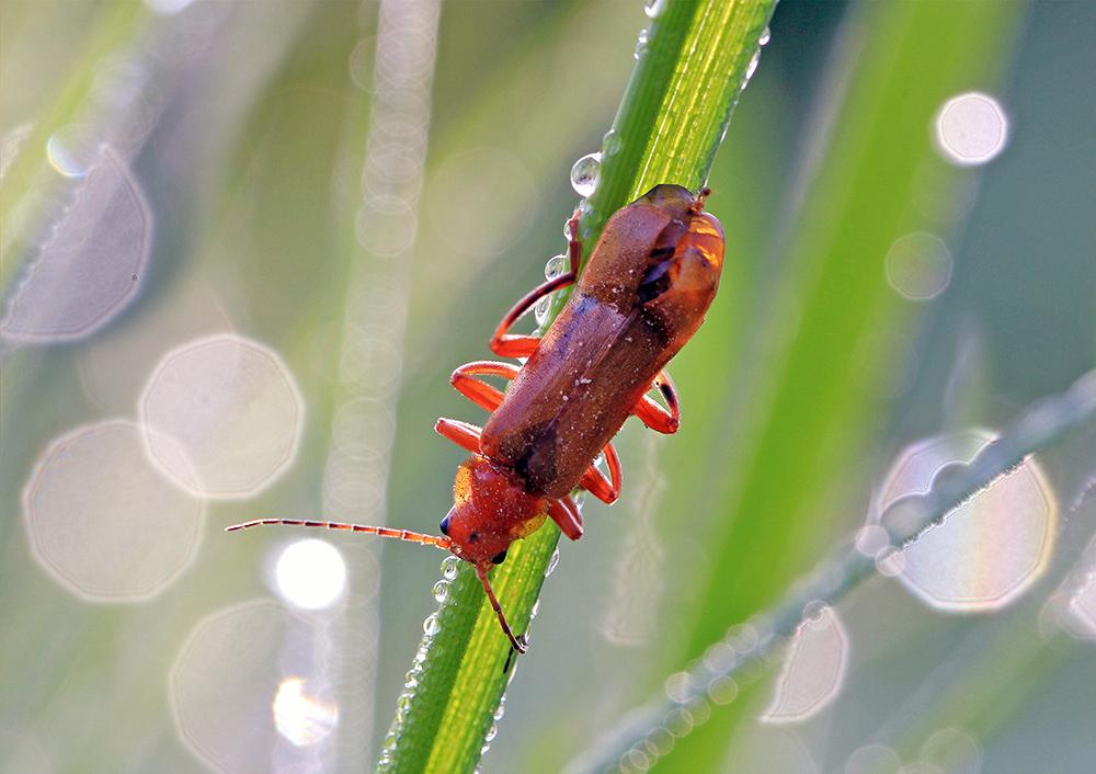 Описание и фото жука щелкуна (проволочника)