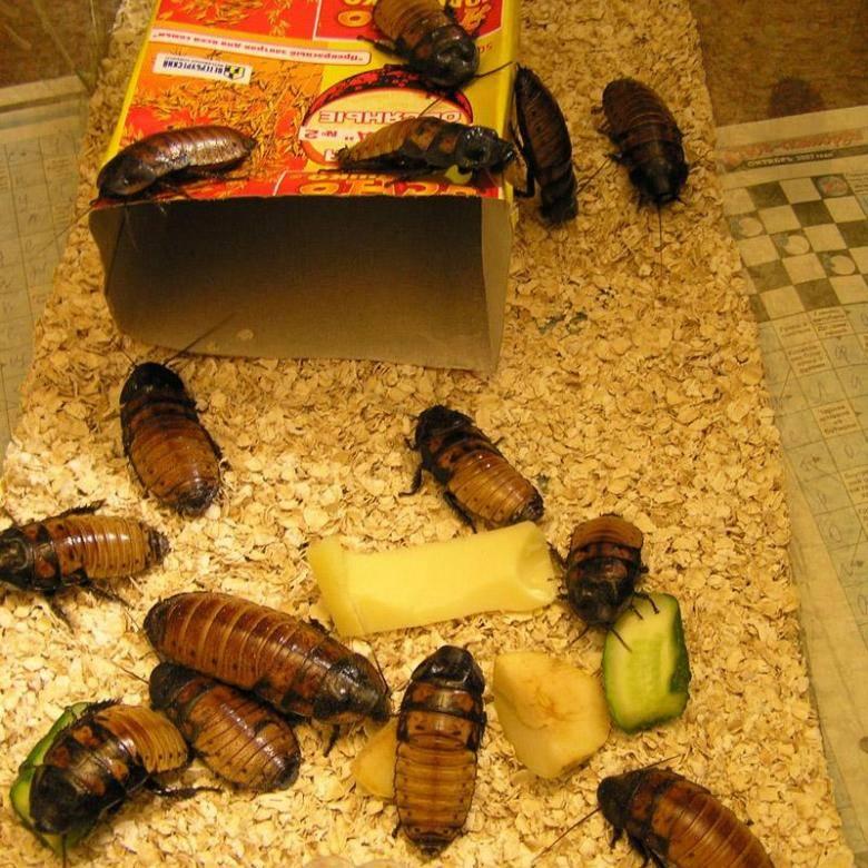 Разведение домашних тараканов на корм домашним животным. рацион террариума: как разводить кормовых тараканов? размножение тараканов в домашних условиях