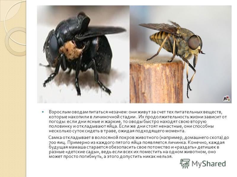 Слепень и овод: отличия между похожими насекомыми. разница между оводом и слепнем