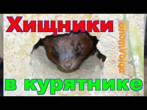 Как вывести хорька из курятника (сарая): капканы, самодельные ловушки, яды и народные методы
