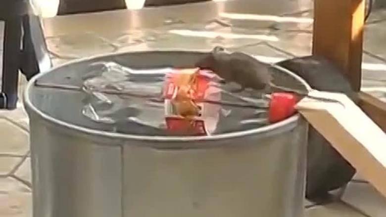 Приманка для крыс в капкан или ловушку: что лучше выбрать?