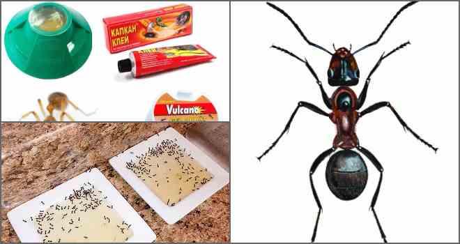 Ловушка для муравьев своими руками: инструкция по изготовлению