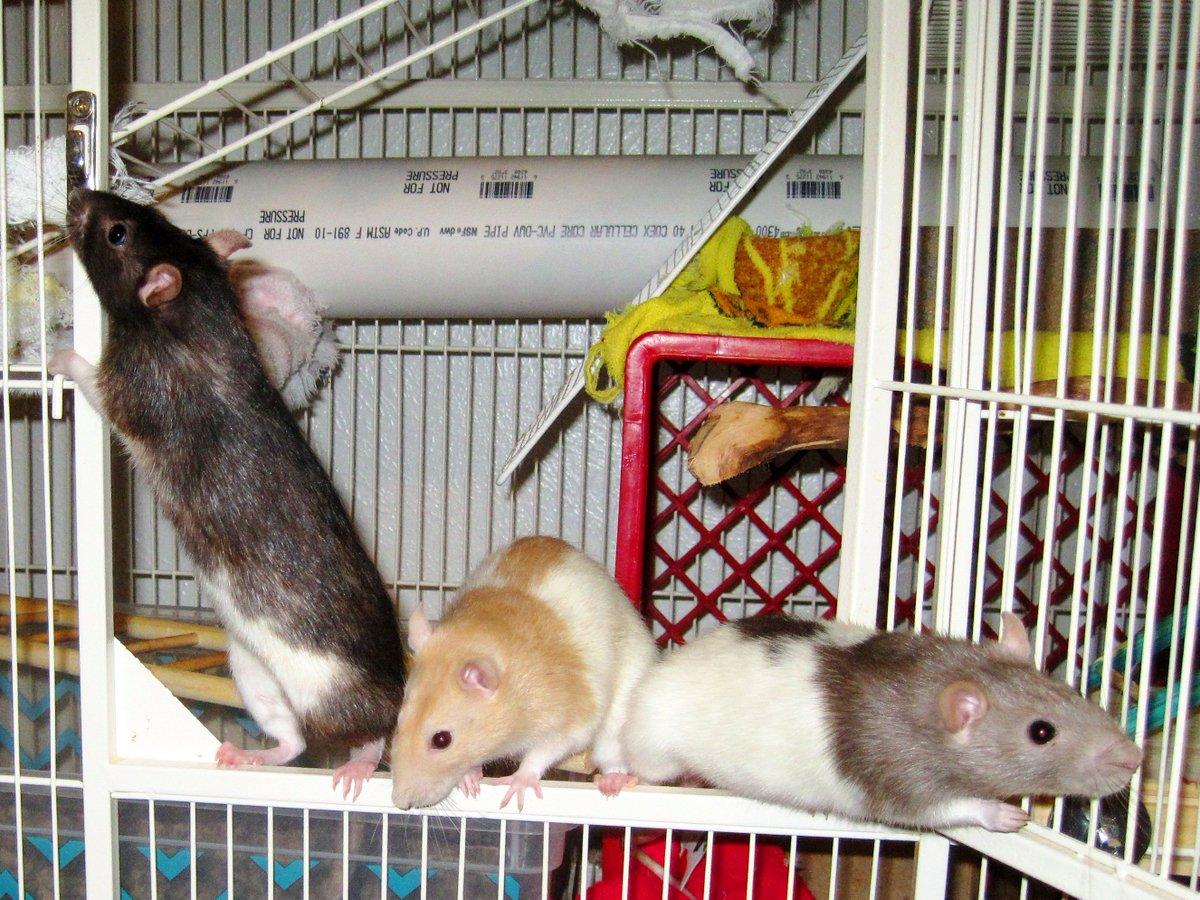 Что едят домашние крысы — рацион питания и список разрешенных и запрещенных продуктов