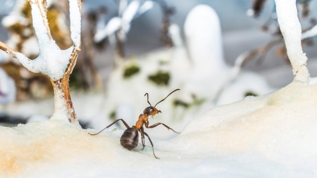Зимовка муравьев: что это такое, как проходит, какой вид муравьев без диапаузы подойдет новичкам