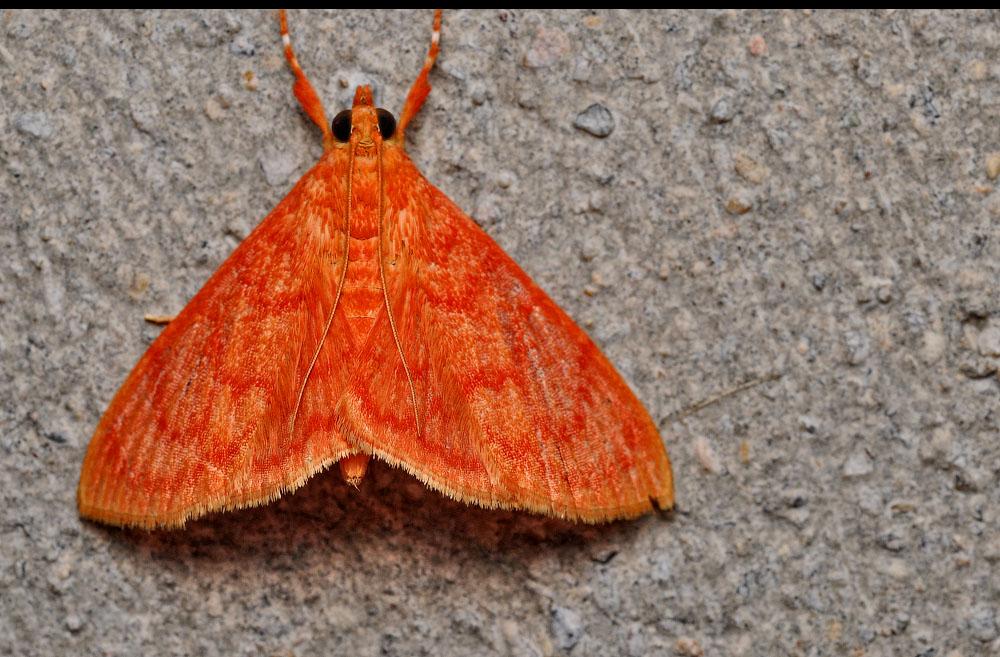Бабочка огневка – описание, виды и наносимый вред человеку