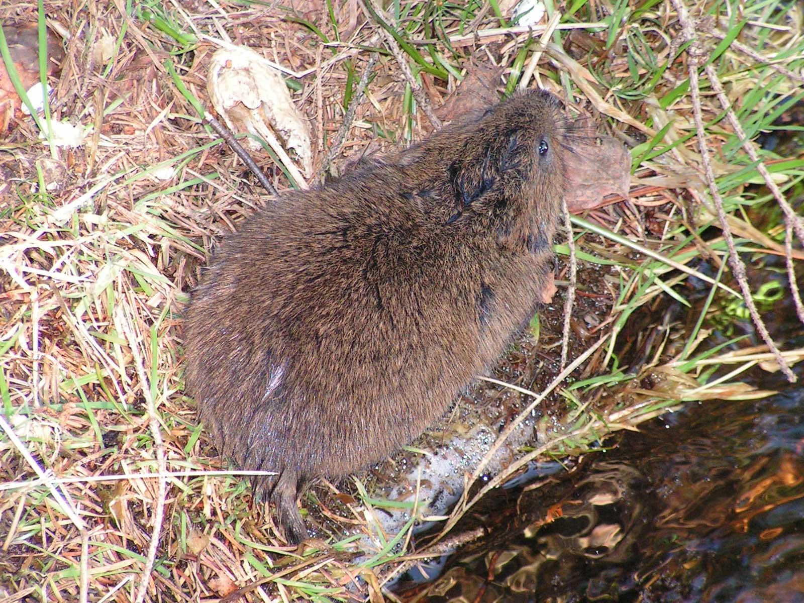 Урожайный вредитель с болота — земляная крыса