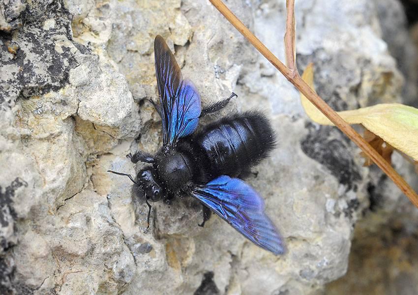Фиолетовый (синий) шмель плотник