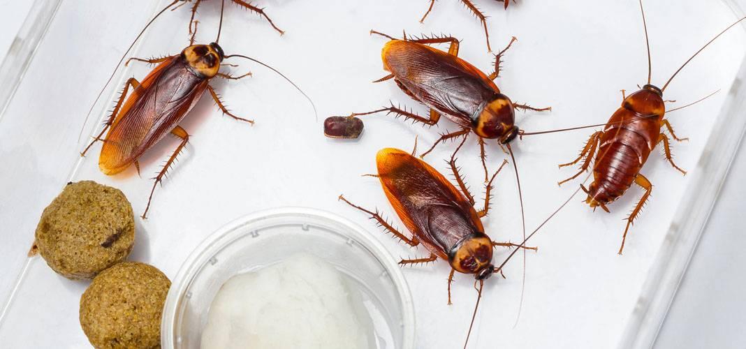 Тараканы в общежитии: как избавиться от тараканов в общежитии?