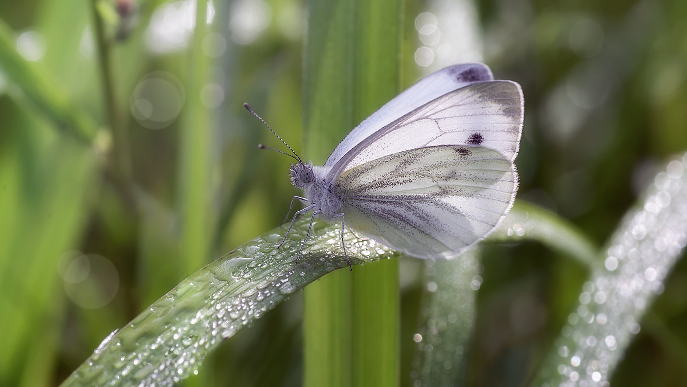 Описание капустной белянки, борьба с гусеницами бабочки капустницы
