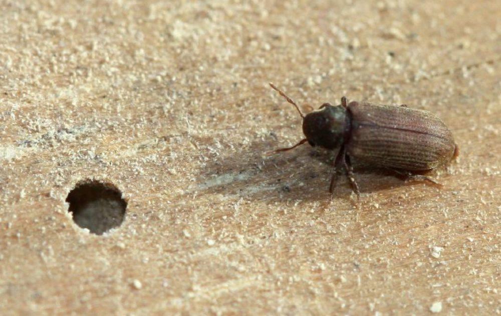 Жук точильщик в деревянном доме – как избавиться от древоточца навсегда – дачные дела