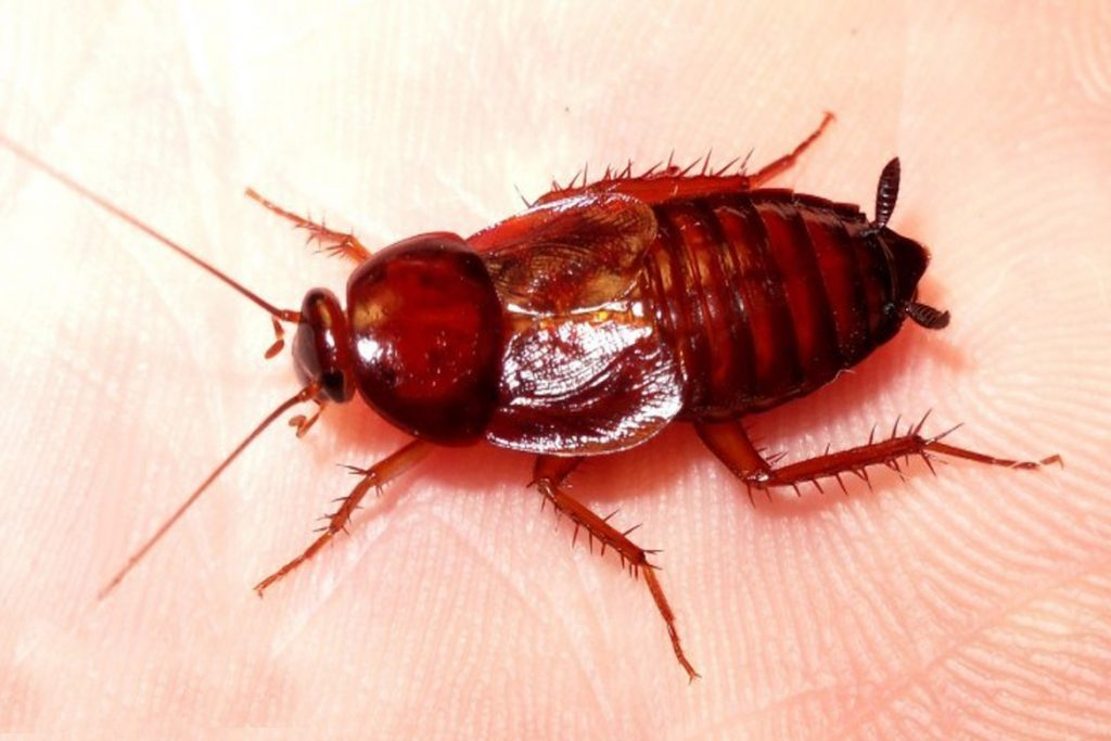 Как избавиться от рыжих тараканов в квартире?