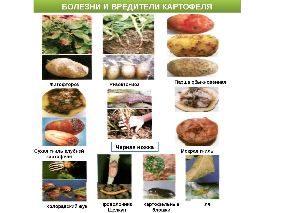 Вредители картофеля и методы борьбы с ними: описание и лечение