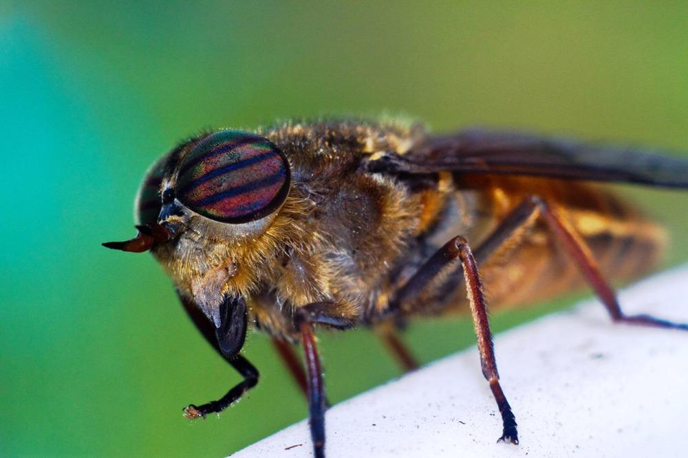 Овод: что это за насекомое и чем оно опасно