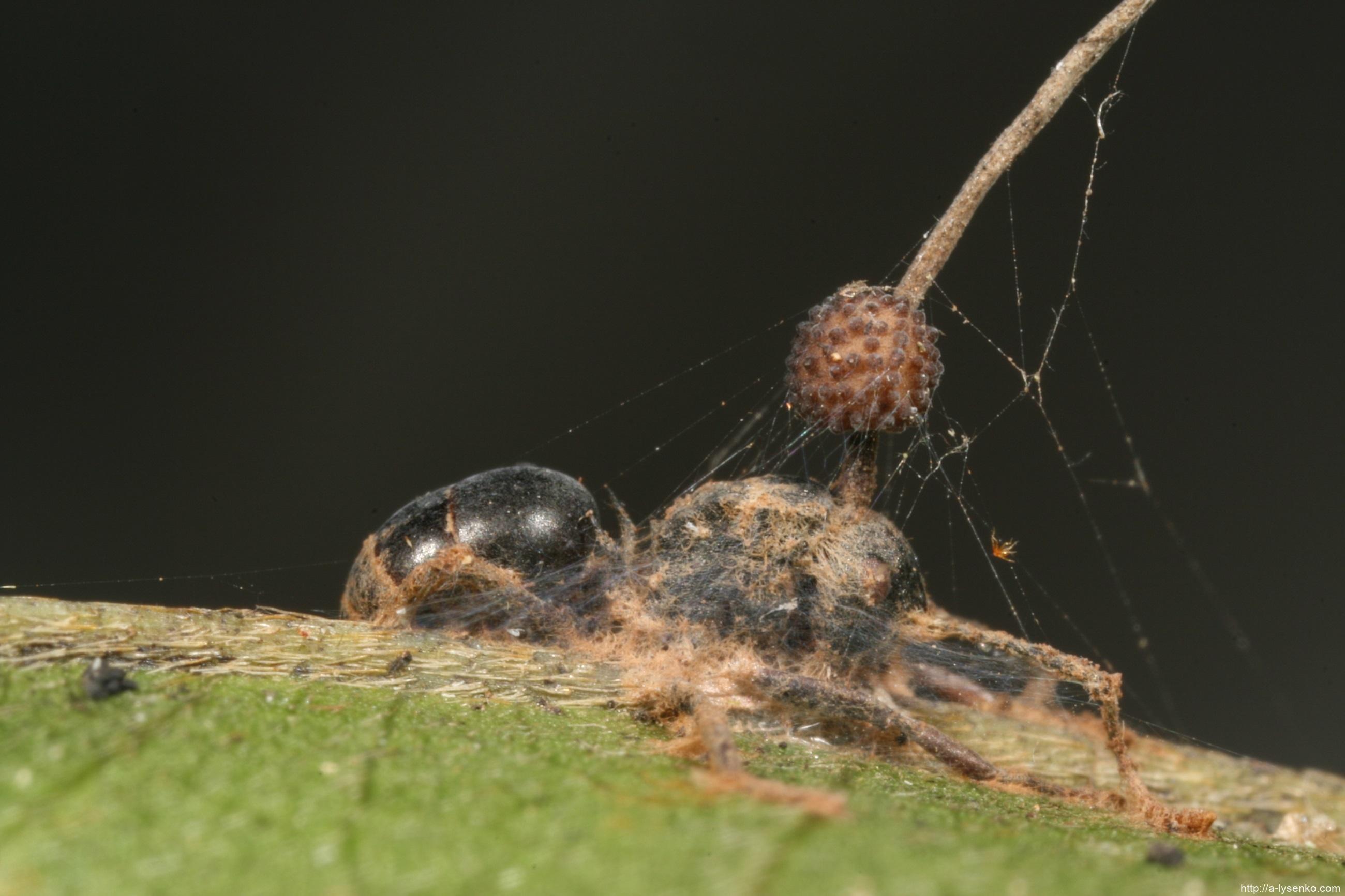 Грибы паразиты — общая характеристика, описание и фото