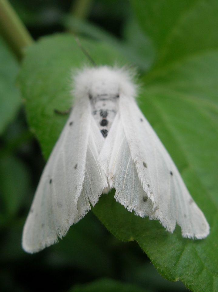 Бабочка американская белая - описание, методы борьбы