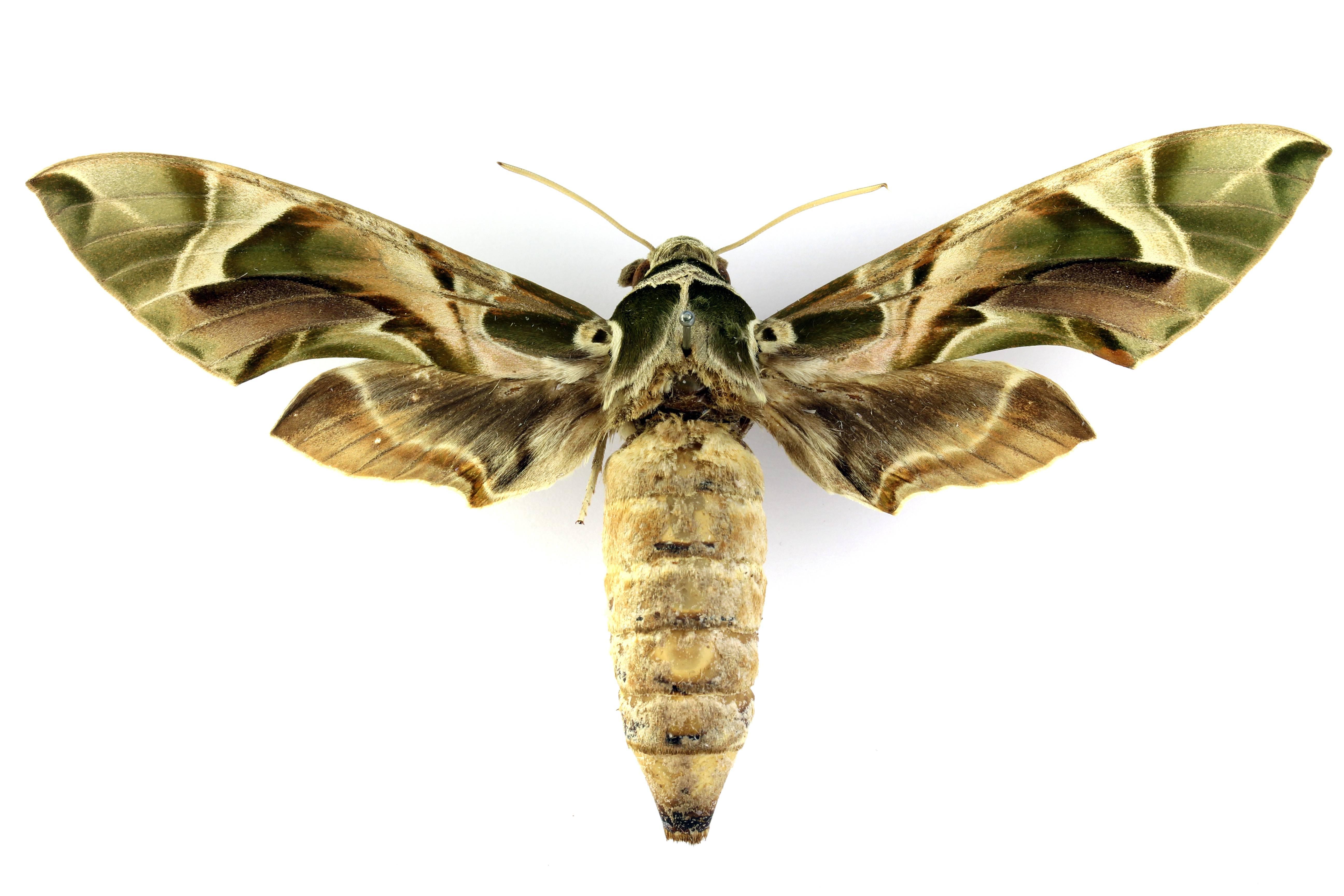 Бражник - sphingidae. мёртвая голова или адамова голова. acherontia. бражник олеандровый, глазчатый. красная книга.