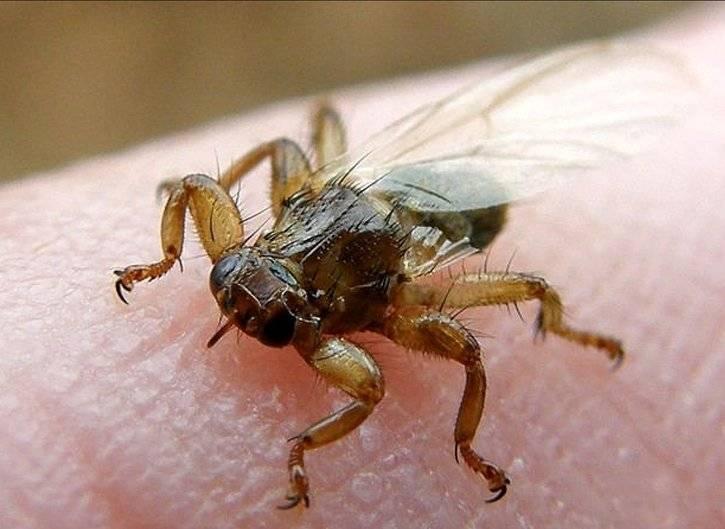 Лосиный клещ: опасен ли для человека, защита от мухи кровососки