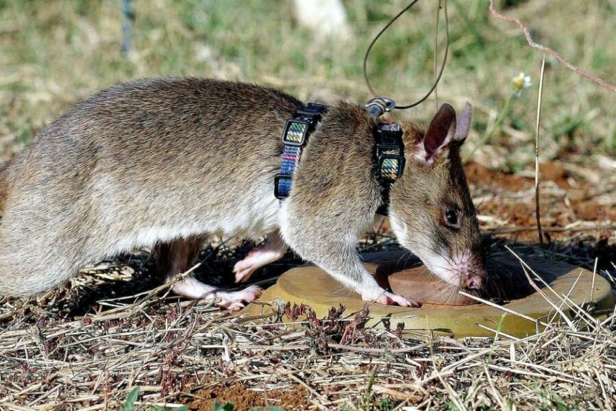 "Гамбийская хомяковая (""сумчатая"") крыса"