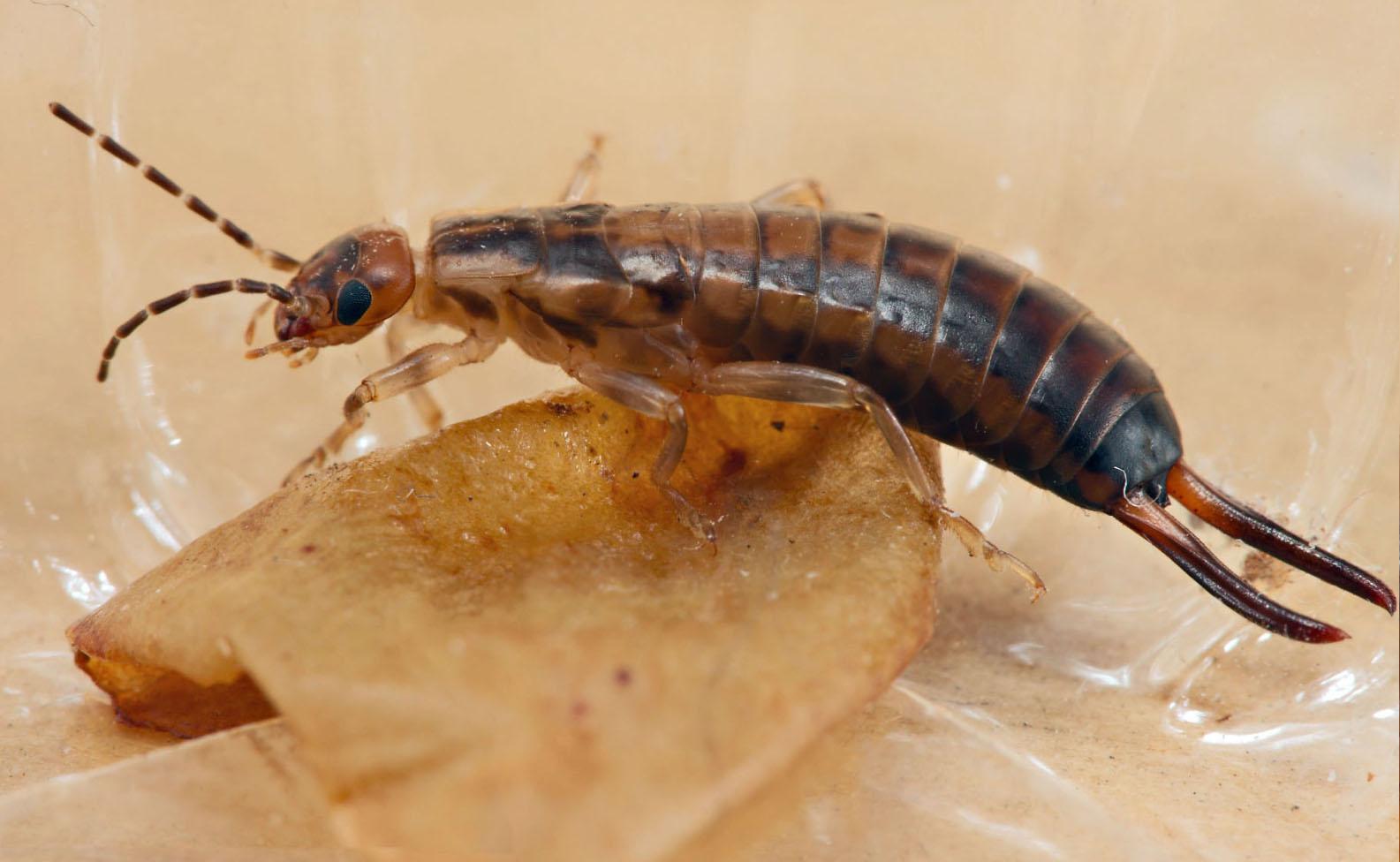 Как бороться с двухвостками в частном доме: как избавиться, опасна ли для человека, насекомое с двумя хвостами сзади, от чего появляются, как вывести двухвосток из дома | domovoda.club