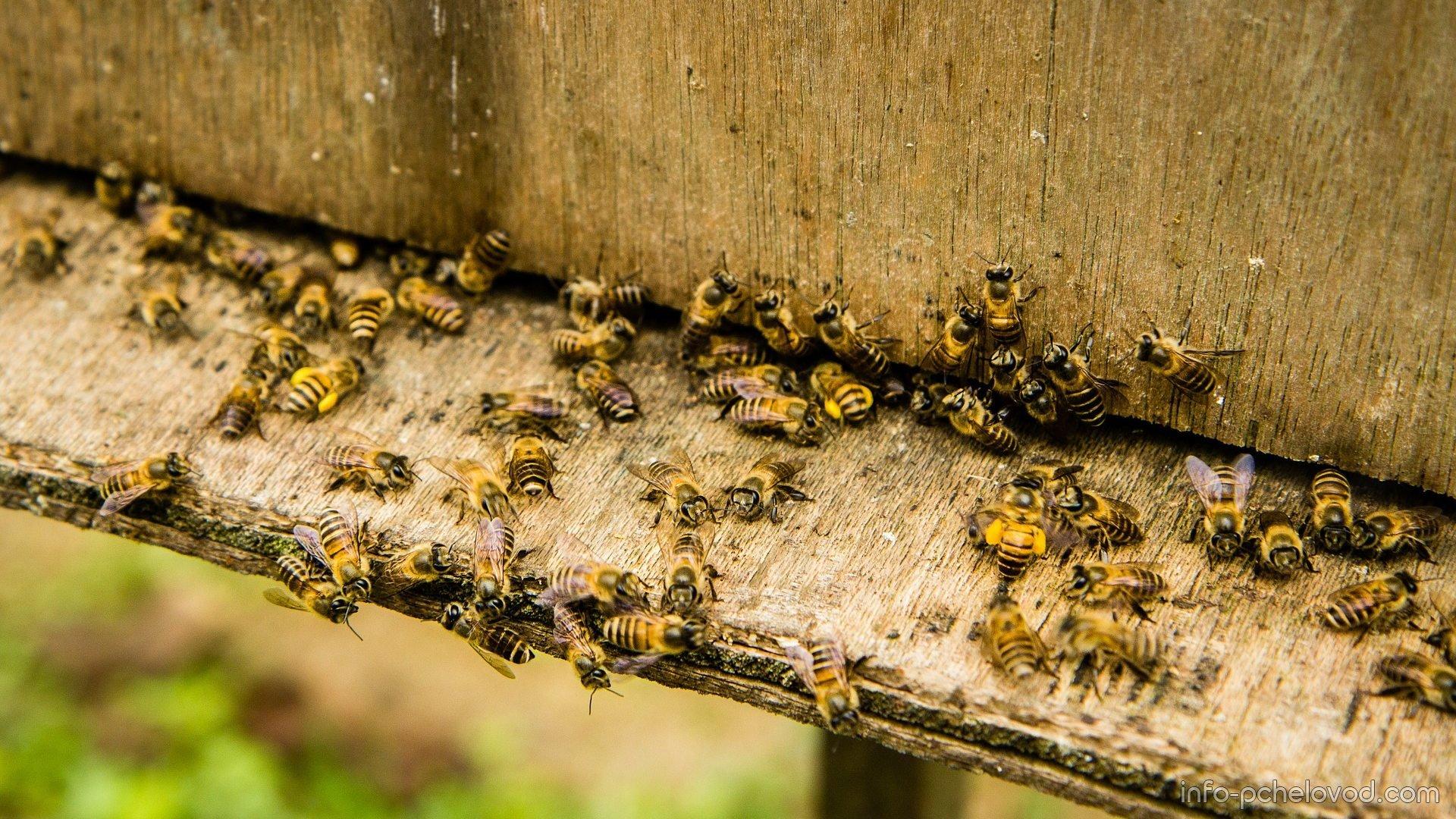 Как избавиться от муравьев в улье с пчелами