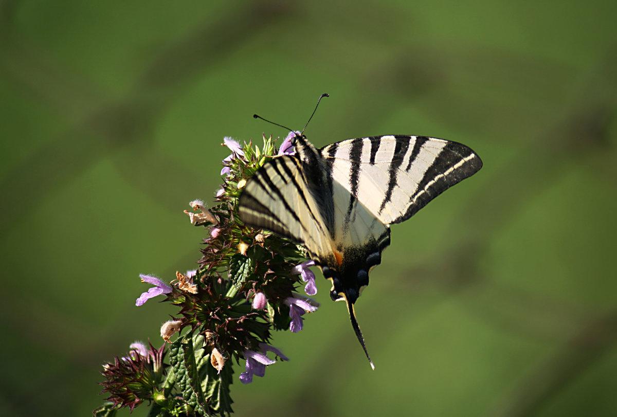 Подалирий бабочка насекомое. описание, особенности, виды и образ жизни бабочки подалирий. статья подробно расскажет о бабочке подалирий, её особенностях и видах