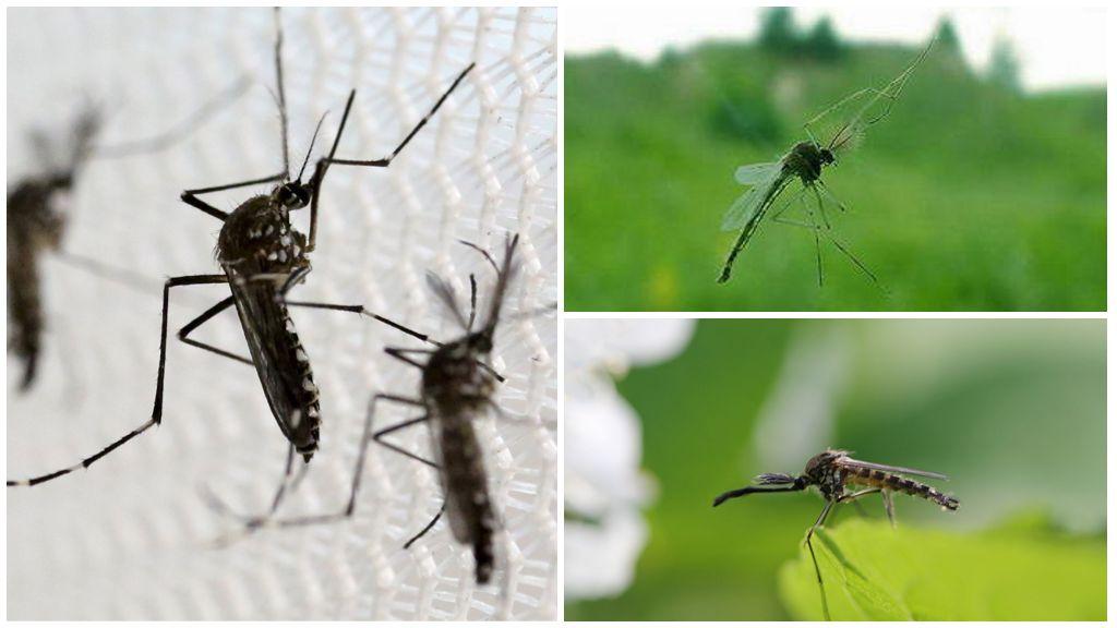 Какой звук издает комар