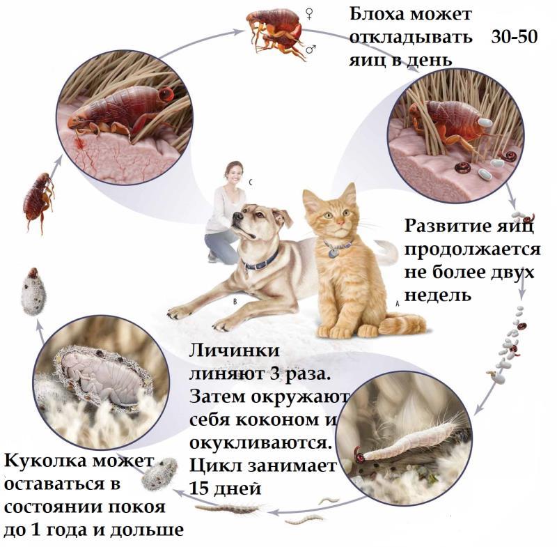 Блохи у кошки, их яйца и личинки – фото и симптомы