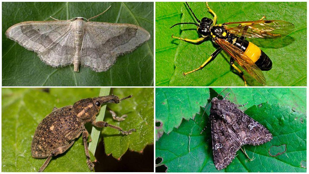 Как избавиться от бабочек-капустниц: как выглядит, что предпочитает, обзор механических, химических и народных методов борьбы, их плюсы и минусы