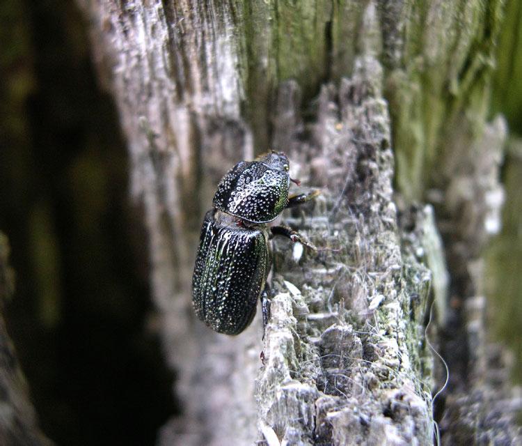 Жук-рогач - виды, строение, образ жизни
