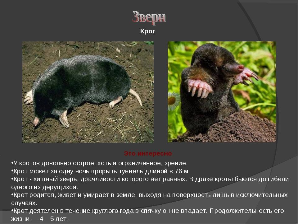Как живут кроты: виды с фото и описанием, образ жизни, размеры