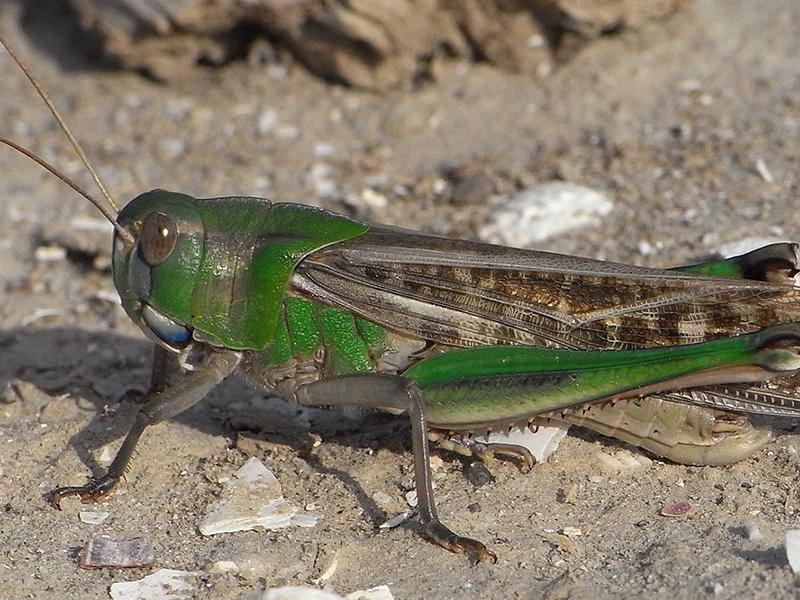 Саранча — насекомое уничтожающее города