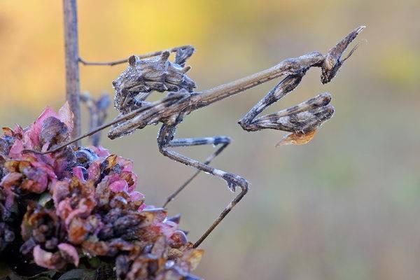 Богомол – фото, виды, описание, чем питается, где обитает