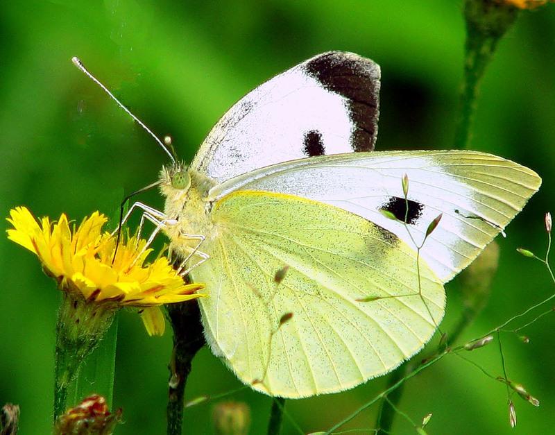 Бабочка капустница (капустная белянка): чем вредны и как выглядят