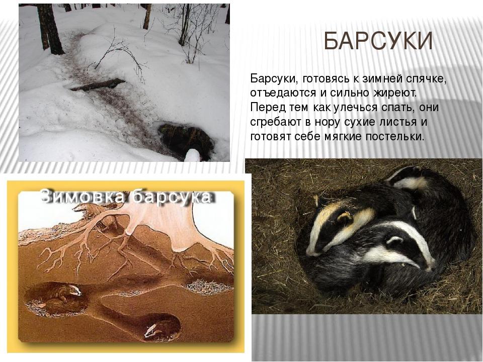 Как зимуют кроты и спят ли они в это время года, впадая в спячку?