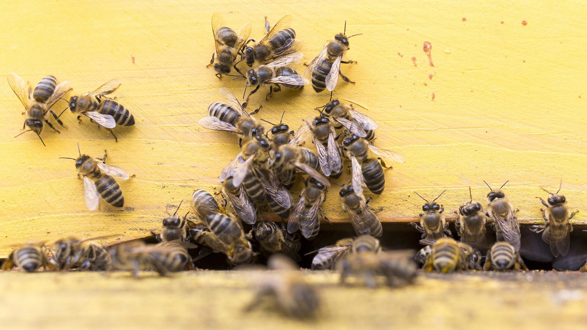 Что произойдет с человечеством, если исчезнут пчелы | русская семерка