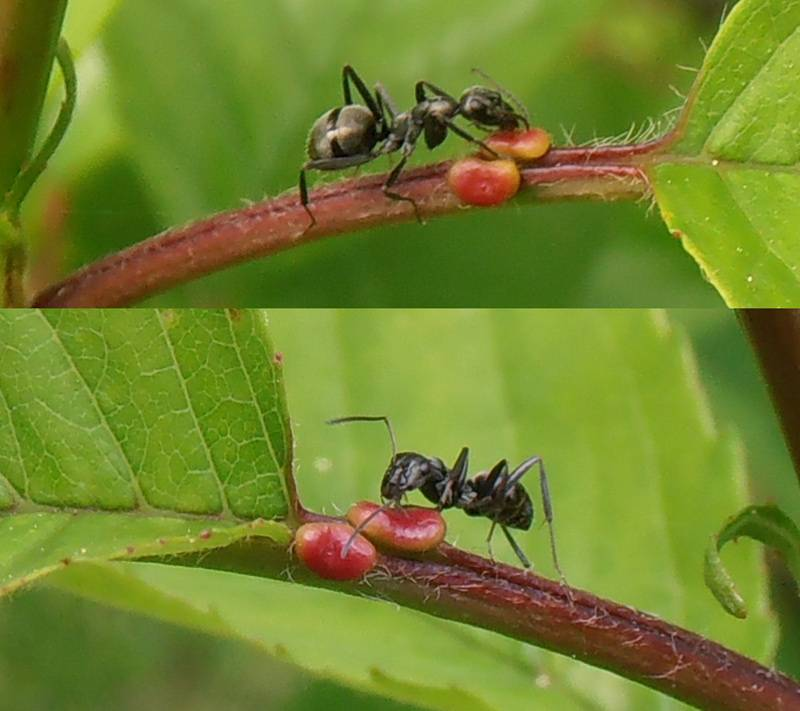 Муравьи на яблоне и груше: что делать и как от них избавиться