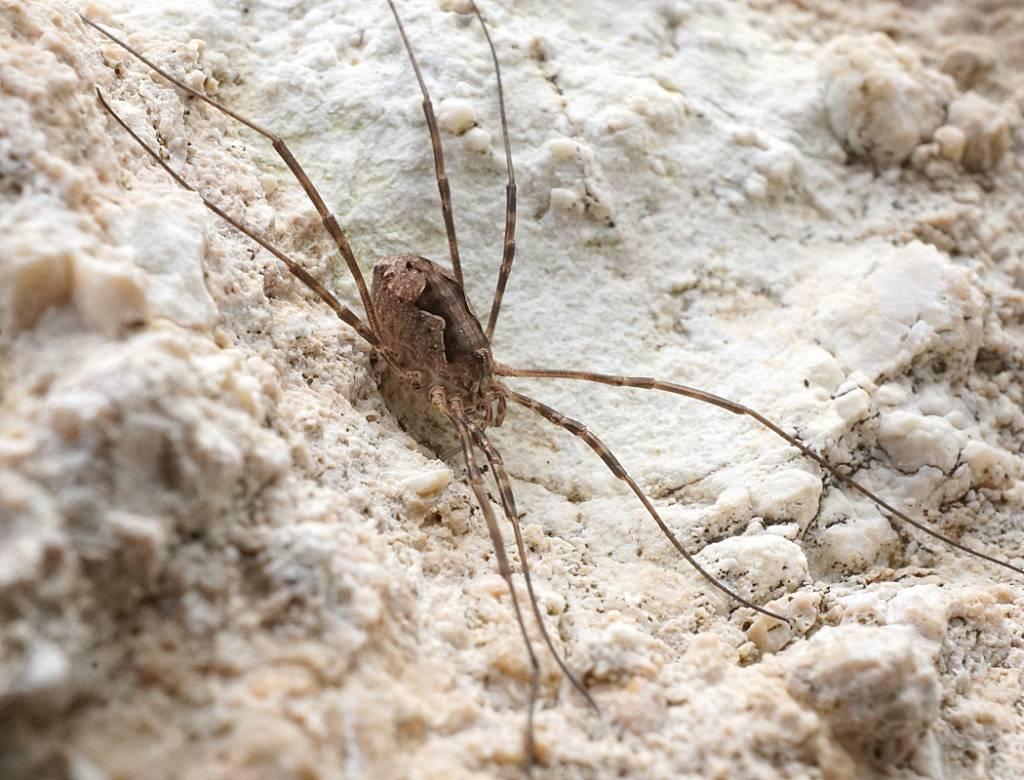 Описание и образ жизни домашнего паука-сенокосца