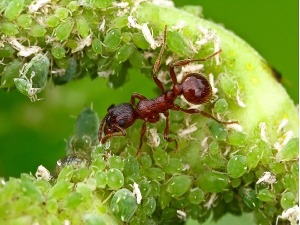 Кто ест муравьев из животных